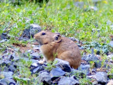 Pika at Yol Valley